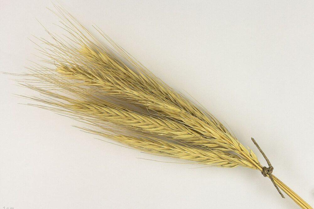 植物プラセンタの成分、ライ麦